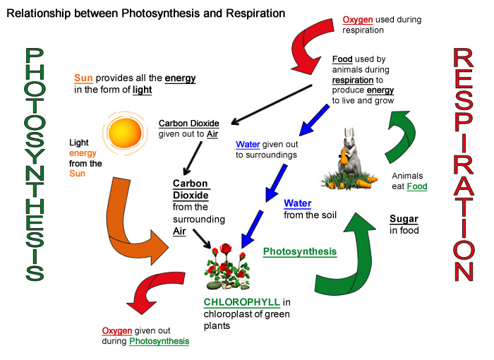 How photosynthesis and respiration work together shawna gierz in photosynthesis plants intake the sunlight carbon dioxide and water throughout this cycle oxygen is pushed out starting up respiration ccuart Image collections